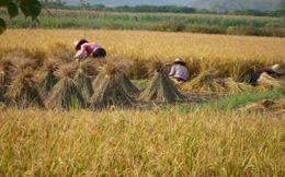 FAO: Giá gạo Châu Á diễn biến trái chiều trong tháng 6