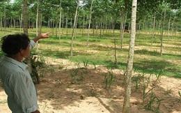 Hiện tượng chặt cao su: Cần thông tin rõ để nông dân bình tĩnh