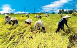 Tổn thất sau thu hoạch lúa lên đến 13.700 tỉ đồng mỗi năm