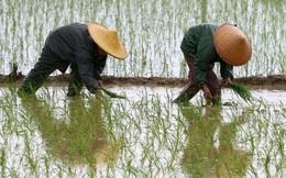 Báo động gạo nhiễm chất gây ung thư