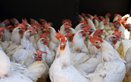 Giá gà tại trại chăn nuôi giảm sâu