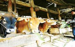 Thịt bò Úc tràn vào nội địa