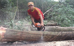 Không vội vàng chặt bỏ cây caosu