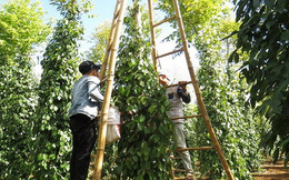 Nông dân Bà Rịa-Vũng Tàu ồ ạt chuyển sang trồng hồ tiêu ghép