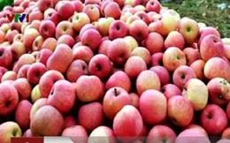 58% lượng táo nhập khẩu ở Việt Nam là từ Trung Quốc