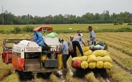 Lúa được giá nhờ thị trường nội địa