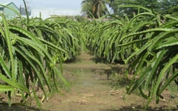 Trả lại tiền cho nông dân trồng thanh long