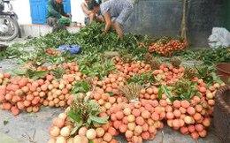 Niềm vui của người trồng vải ở Thanh Hà