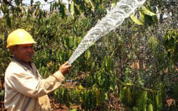 NHNN dành 10.000 tỉ đồng cho vay tái canh cà phê