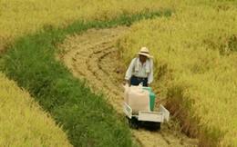 Nhật ngừng chính sách bảo hộ sản xuất gạo trong nước