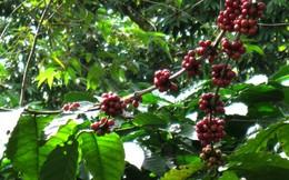 Nông dân điêu đứng vì vay lãi suất cao đầu tư vườn cà phê