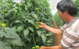 Nông dân bỏ tiền túi ra nước ngoài học trồng cà chua