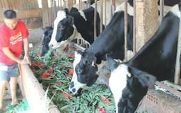 Hoa lay ơn bỏ cho bò ăn