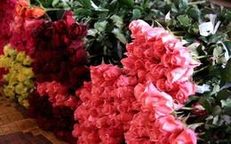 Thương lái Trung Quốc gom hoa hồng Đà Lạt trước Lễ Tình nhân?