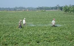 Thương lái Trung Quốc thu mua lá khoai lang không giới hạn