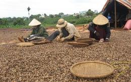 Vụ điều mới: Lợi cho nhà nông, khó cho doanh nghiệp