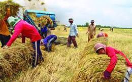 Thái Lan không thể bán tháo gạo