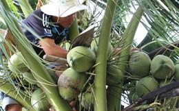 Giá dừa tại Trà Vinh tăng mạnh, chủ vườn phấn khởi