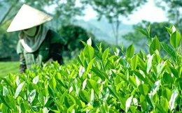 Giá chè của Việt Nam vẫn thấp