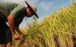 Trung Quốc thu mua hơn 4 triệu tấn gạo để ổn định giá