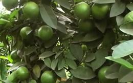 Trồng cam, thu hoạch tiền tỉ mỗi năm