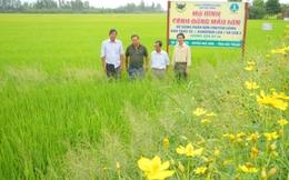 Liên kết phát triển cánh đồng lúa thơm