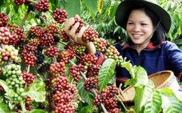 Sản lượng cà phê có thể giảm tới 25%