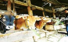 Vì sao bò Úc ồ ạt tràn vào Việt Nam theo cấp số nhân?