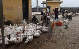 Không cấm dùng hóa chất vặt lông gà vịt làm sẵn?