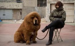 Kiếm triệu đô nhờ nuôi chó ngao Tây Tạng