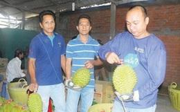 Thương nhân nước ngoài cho hóa chất lạ vào sầu riêng xuất khẩu