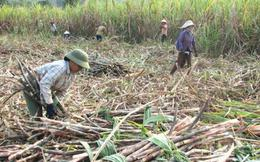 Mía đường Việt Nam: Những yếu kém hệ thống