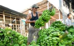 Bất thường việc thu gom chuối ồ ạt xuất sang Trung Quốc