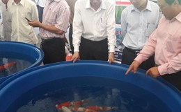 2 cha con đất Sài thành thuần dưỡng cá Koi, kiếm bạc tỷ