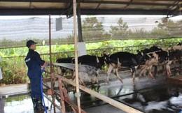 Nghệ An: Trang trại chăn nuôi bò sữa Vinamilk đạt chuẩn quốc tế