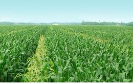 Giống cây trồng Miền Nam lãi 80 tỷ đồng năm 2013, tăng 19% so với cùng kỳ
