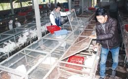 Cử nhân bỏ việc thành phố về quê nuôi thỏ