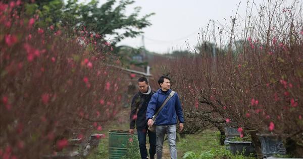 Gốc đào ''khủng'' được chủ vườn ''hét'' giá cho thuê trên trăm triệu đồng
