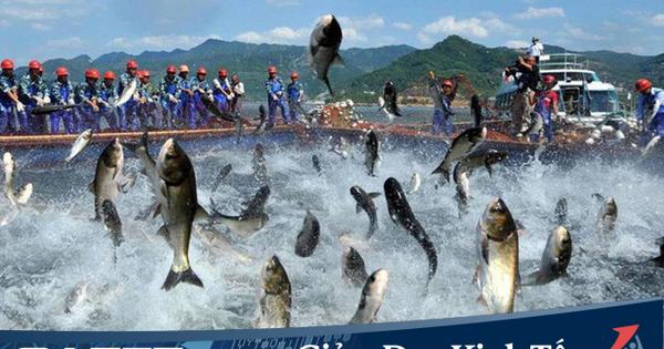 Trung Quốc, Mỹ mua mạnh cá tra trở lại với mức tăng 2 chữ số, phía doanh nghiệp vẫn báo lãi quý 1 sụt giảm, kế hoạch cả năm thận trọng