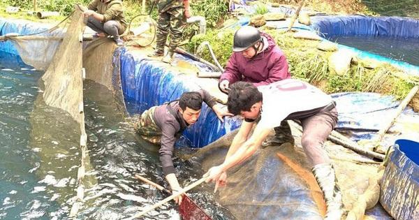 Lào Cai khẩn trương tìm đầu ra cho 250 tấn cá hồi vùng cao