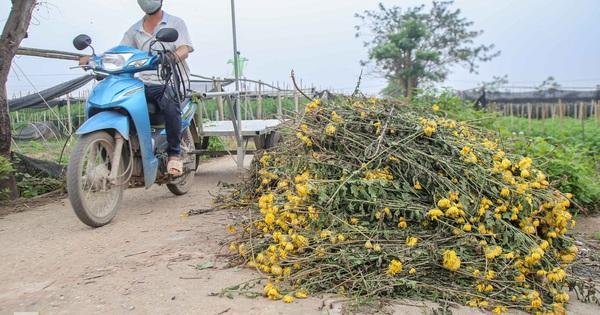 Không có nơi tiêu thụ, người nông dân khóc ròng, cắt hoa vứt đầy đường