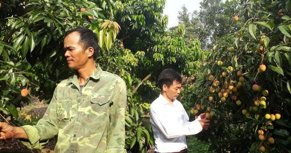 Cho 309 thương nhân Trung Quốc sang Việt Nam mua vải thiều