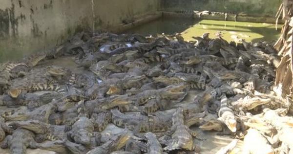 Bạc Liêu: Cá sấu rớt giá, người nuôi lỗ nặng