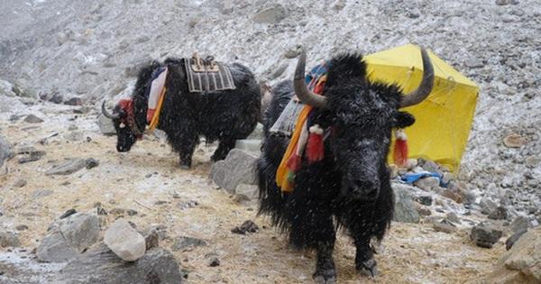 Không phải chó ngao, loài vật này mới là báu vật của Tây Tạng với công dụng toàn năng, bất kỳ bộ phận nào cũng có thể ''đẻ ra tiền''