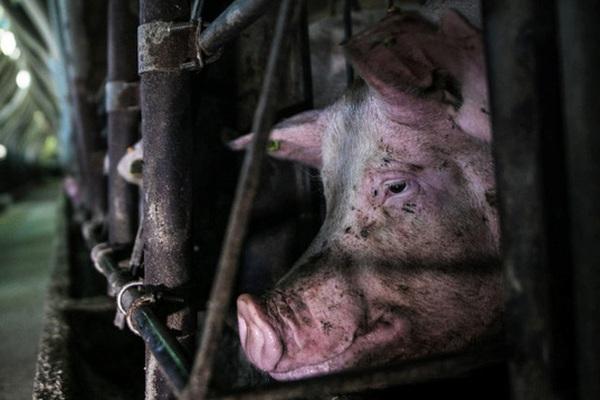 'Lợn quay đầu': Quy định mới khiến người nghèo Mỹ khóc ròng trong bối cảnh giá thịt heo cao nhất 40 năm qua
