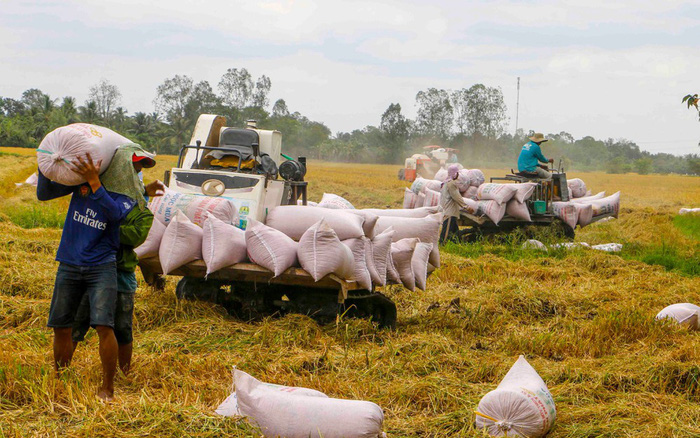 Giá lúa tại ĐBSCL tăng sau khi xuất khẩu gạo bình thường trở lại