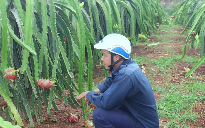 Nông dân Đắk Lắk điêu đứng vì thanh long rớt giá còn 2.000 đồng/kg - mega 655