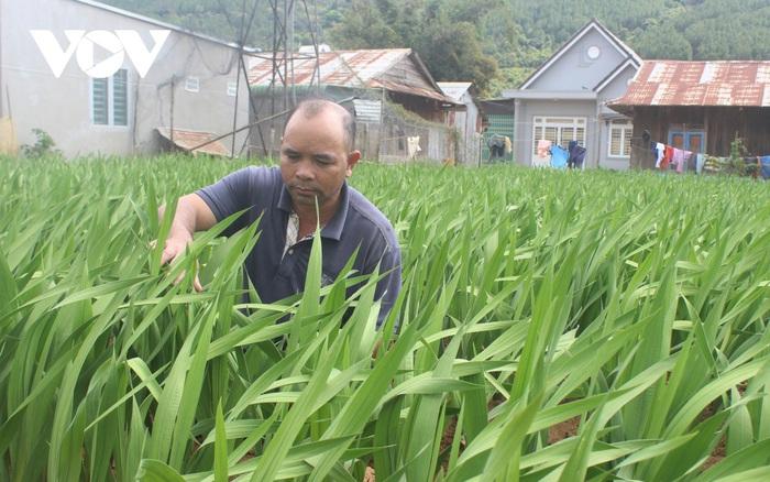 Nhiều nhà vườn ở Lâm Đồng lo lắng hoa Tết khó tiêu thụ