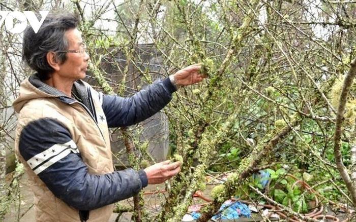 Lào Cai không dán tem truy xuất nguồn gốc cây đào