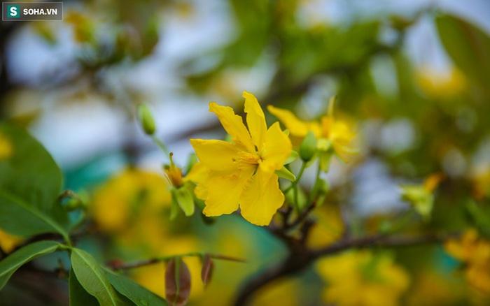 [Ảnh] Hàng nghìn cây mai nở sớm trước Tết cả tháng, chủ vườn mất trắng 15 tỷ đồng
